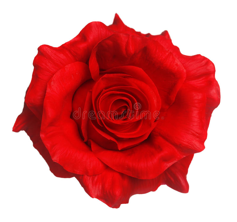 Rose rouge d'isolement images stock