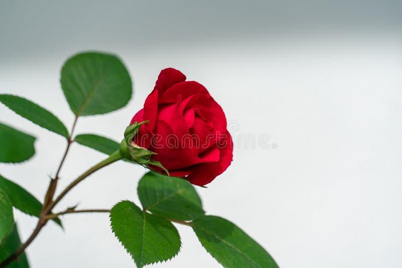 Rose rouge d'isolement avec le gisement vide blanc des textes images libres de droits