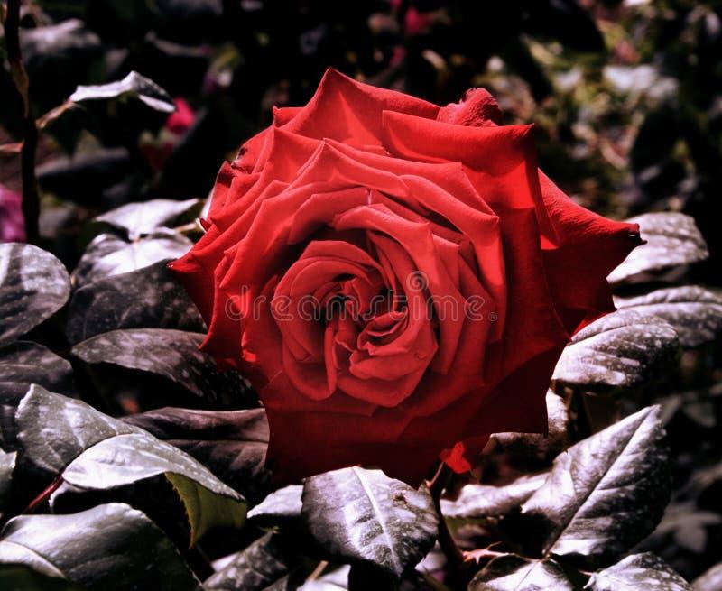 Rose rouge dans un jardin photo stock