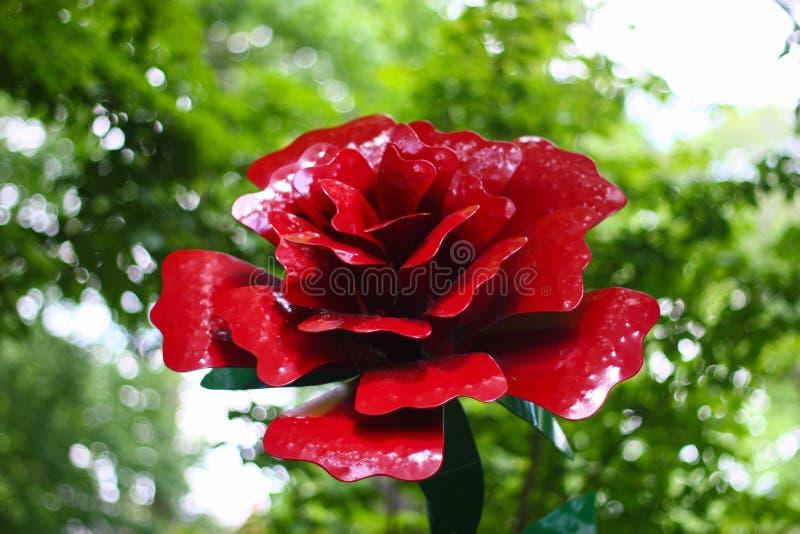 Rose rouge de Lancaster avec le fond brouillé image libre de droits