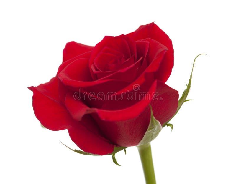 Rose rouge foncé d'isolement image libre de droits