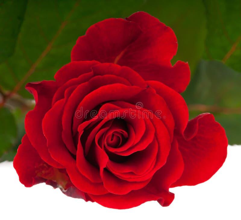 Rose rouge frais images libres de droits