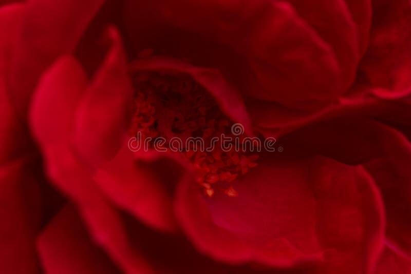 Rose rouge intelligente pour le jour du ` s de Valentine Fin vers le haut image libre de droits