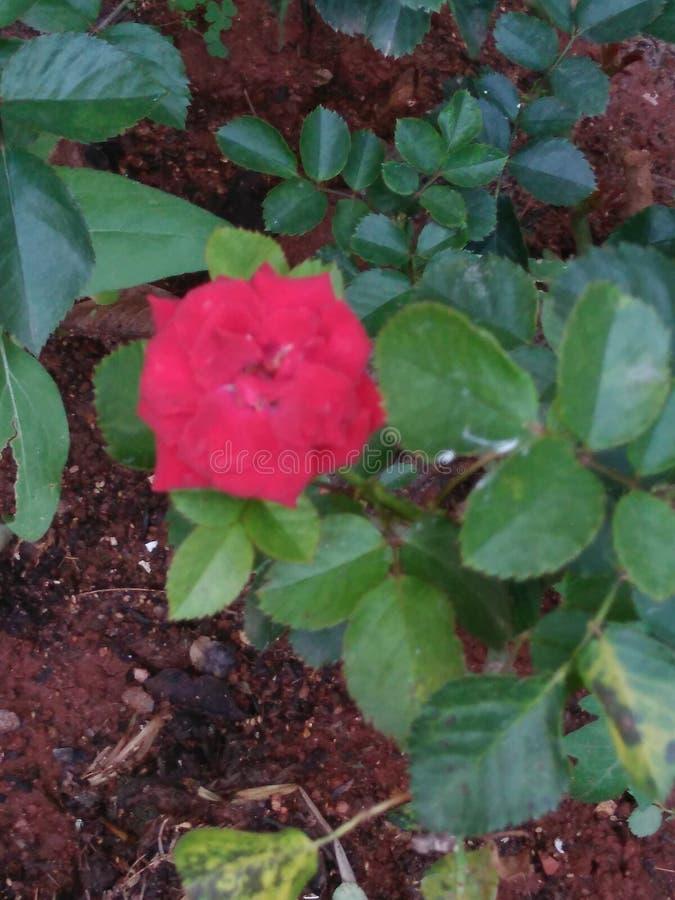 Rose rouge minuscule image stock