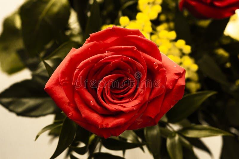 Rose rouge pour le jour des femmes image libre de droits