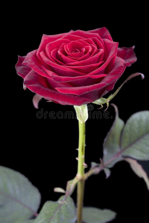 Rose rouge simple image stock