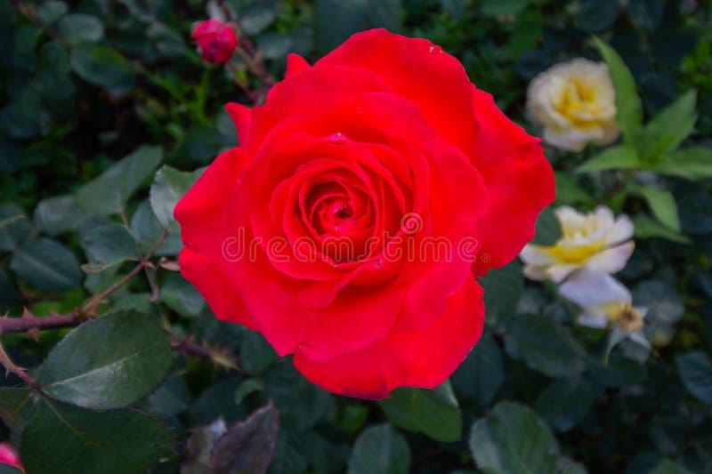 Rose rouge sur le branchement photographie stock libre de droits