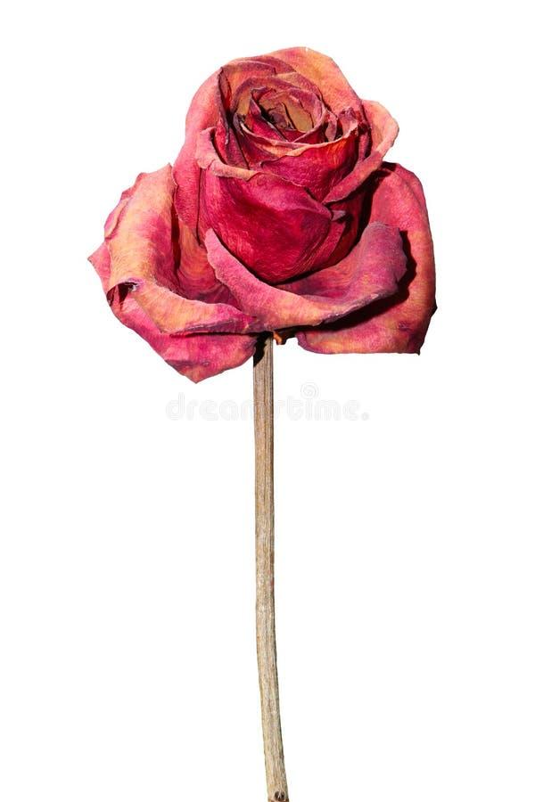 Rose sèche de rouge d'isolement sur le fond blanc Png disponible image stock