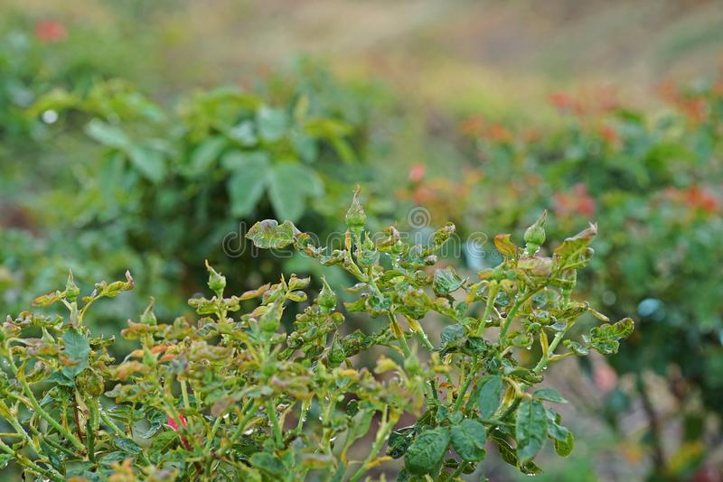 Rose`s Leaves Abnormal Growth From Sucking Pest Stock Image