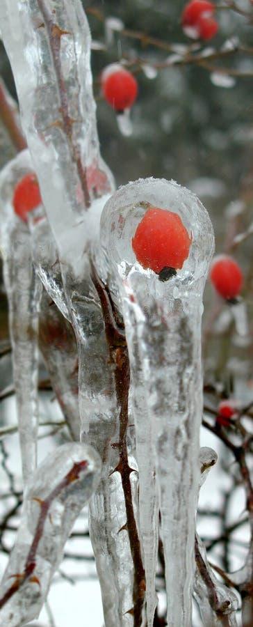 Rose salvaje en hielo fotos de archivo libres de regalías