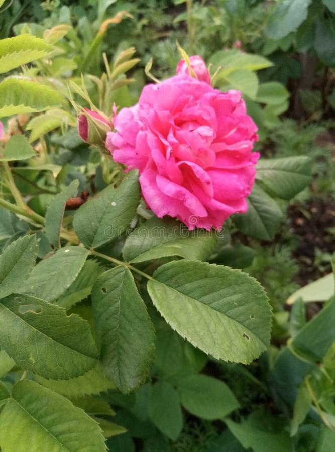 Rose salvaje fotos de archivo libres de regalías