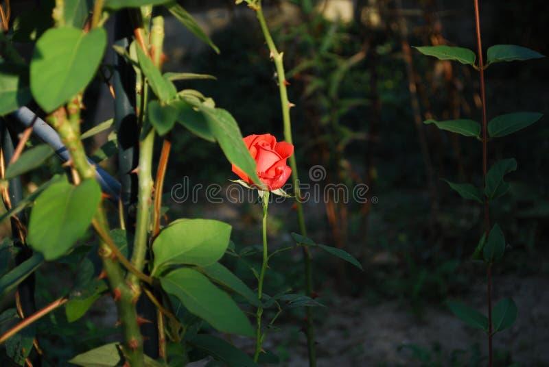 rose samotny zdjęcia royalty free