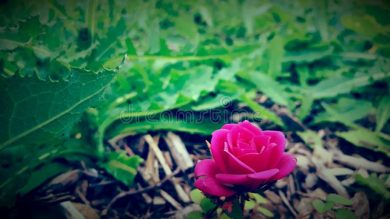 rose samotny obraz royalty free