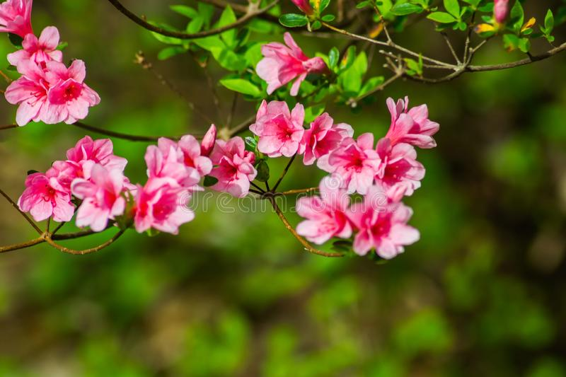 Rose sauvage Azalea Flowers des Appalaches images stock