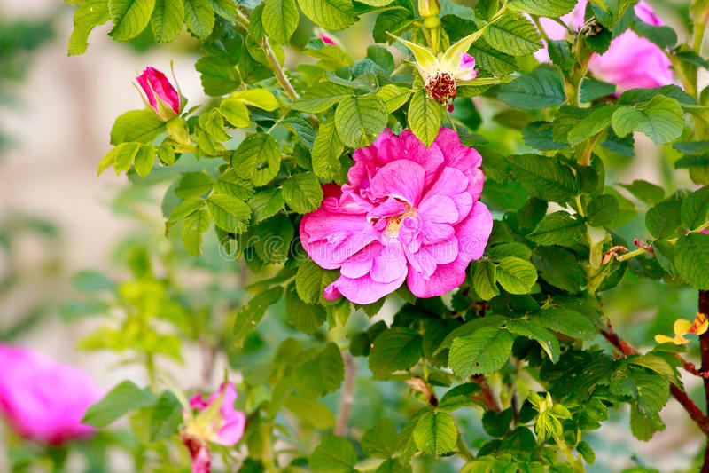 Rose sauvage rose photos libres de droits