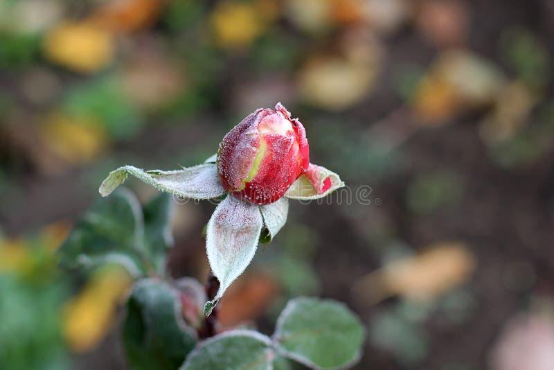 Rose schließen oben im Garten lizenzfreie stockbilder