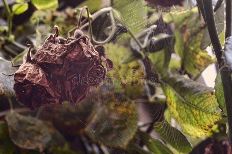 Rose se descoloró (murió abajo) Arbusto seco de las flores Jardín del otoño Cielo rosado de la salida del sol en el fondo de la f imagenes de archivo