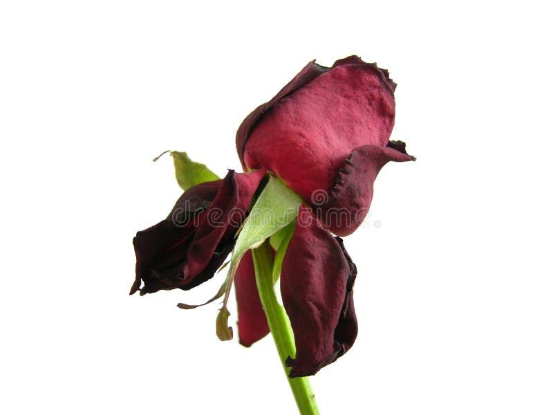 Rose seca aislada fotos de archivo