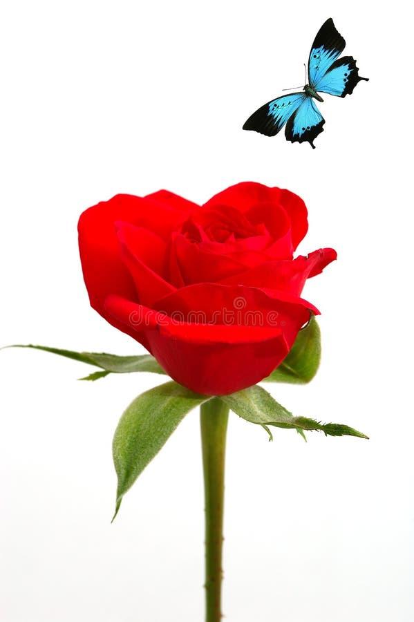 Rose sedosa roja con la mariposa azul fotos de archivo libres de regalías