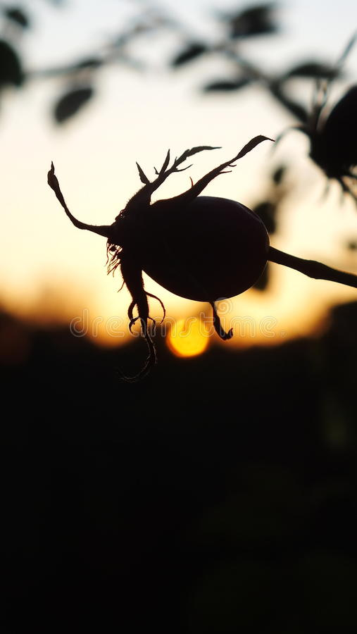 Rose seed and sunset royalty free stock photos