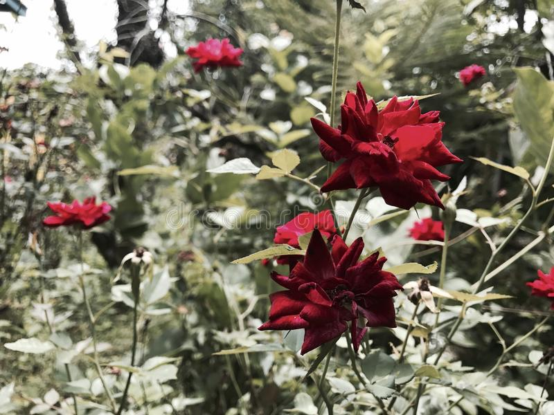 Rose selvatiche fotografia stock libera da diritti