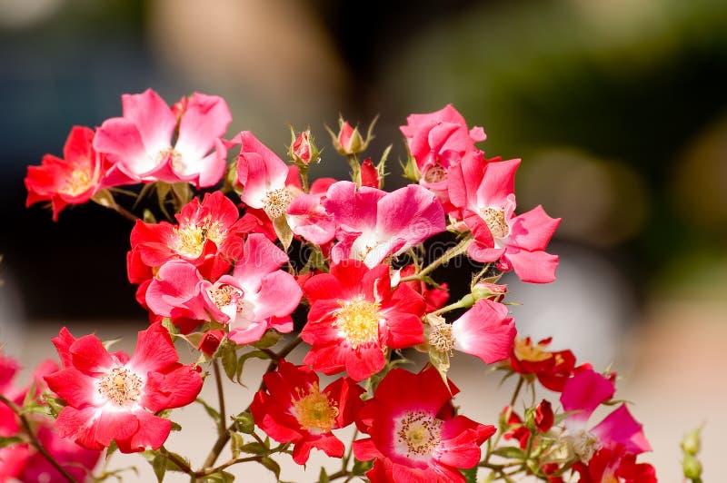 Rose selvatiche fotografia stock