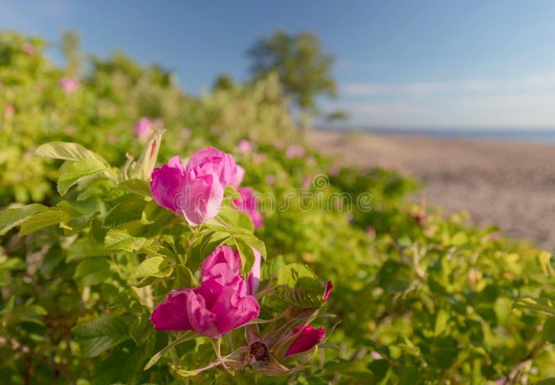Rose selvatiche di fioritura sulle dune del Mar Baltico fotografie stock