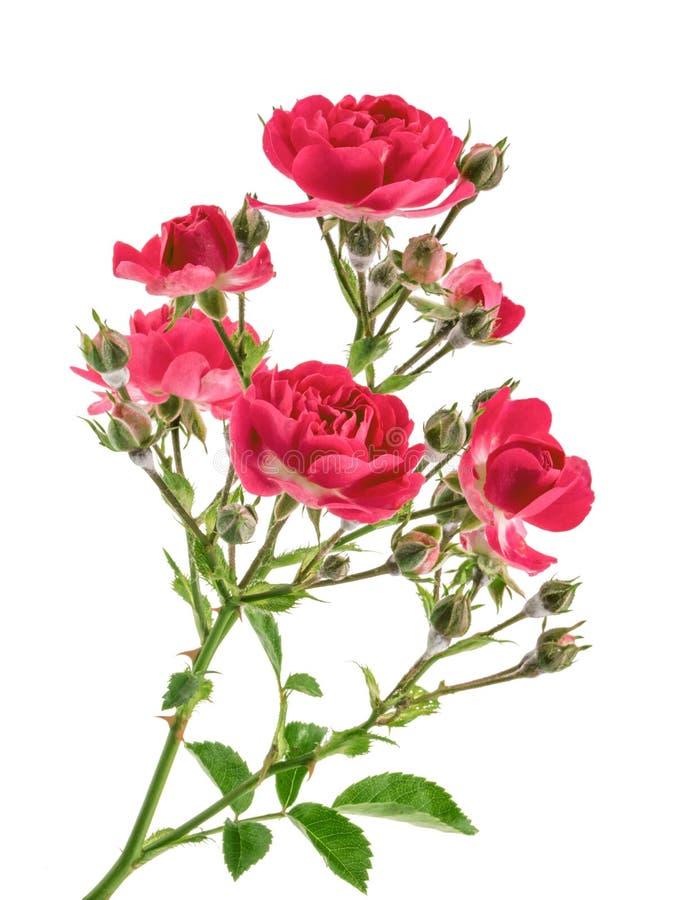 Rose selvatiche isolate senza ombra fotografie stock