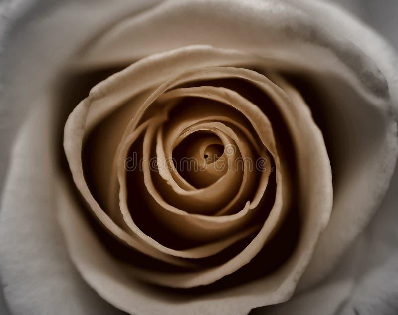 rose sepia royaltyfri bild