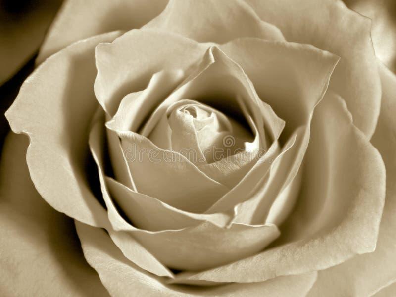 Rose Sepiowego White Zdjęcie Stock