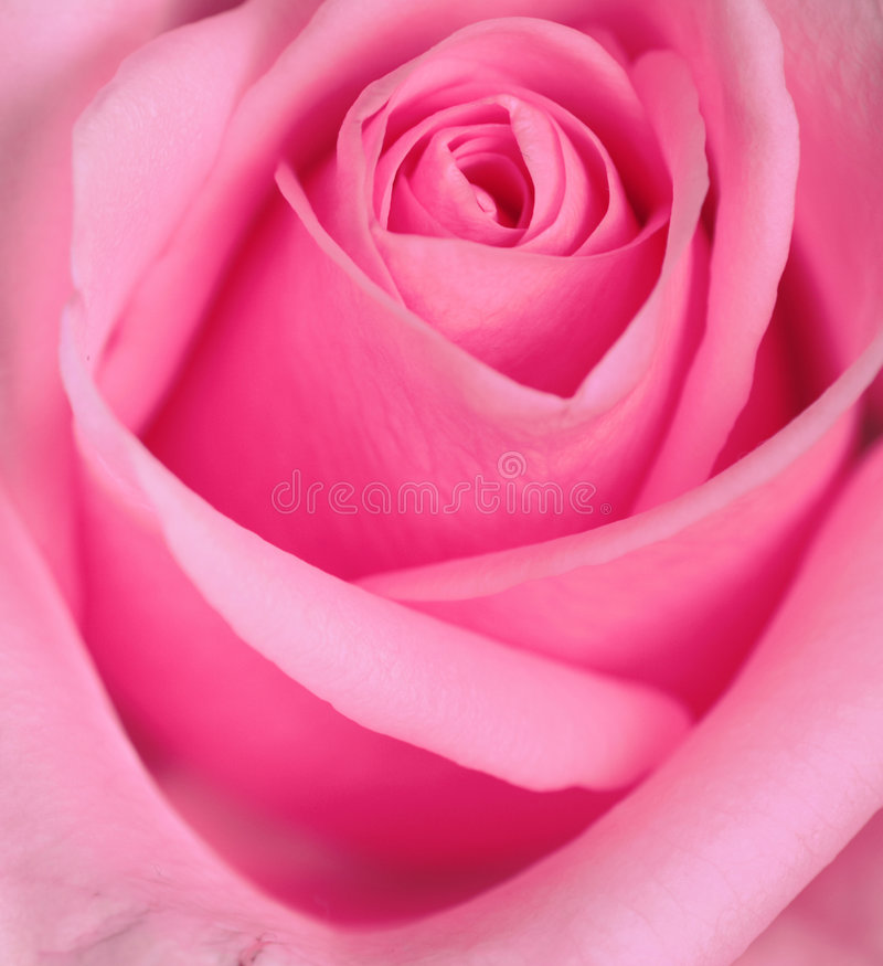Rose Series royalty free stock photo
