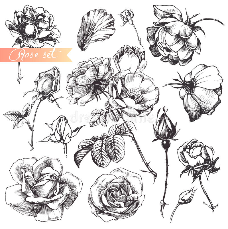 Rose set. royalty free illustration