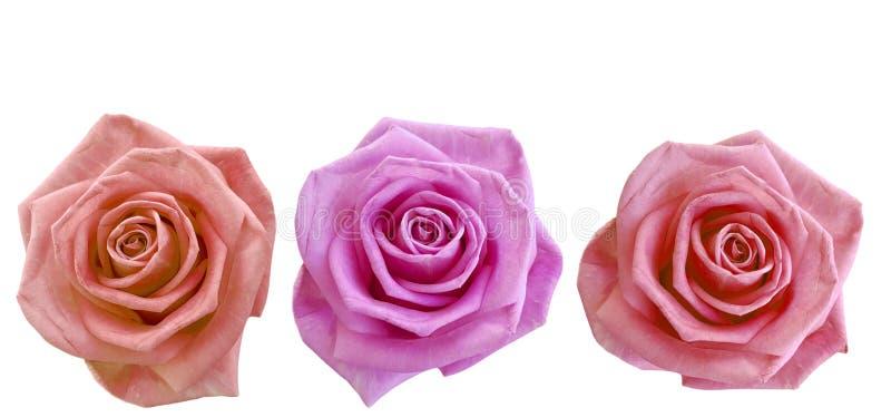 Rose set isolated. Macro, open greetin stock image