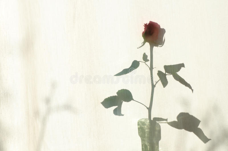 Rose shadow on textile courtain. Rose shadow on white textile courtain royalty free stock photography