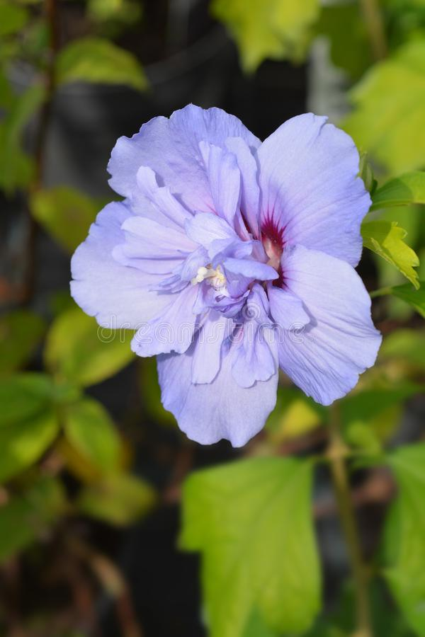 Rose Of Sharon Blue Chiffon arkivfoton