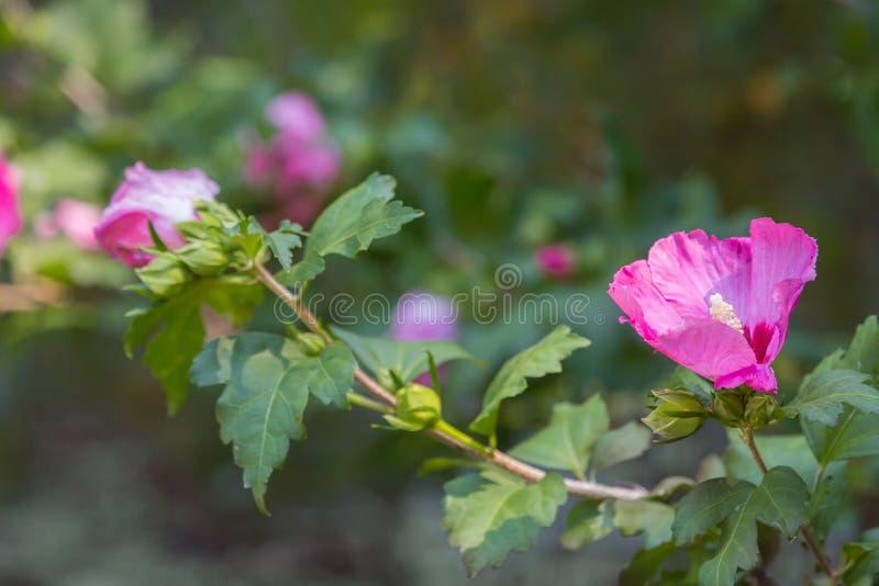 Rose of Sharon flower royalty free stock photo