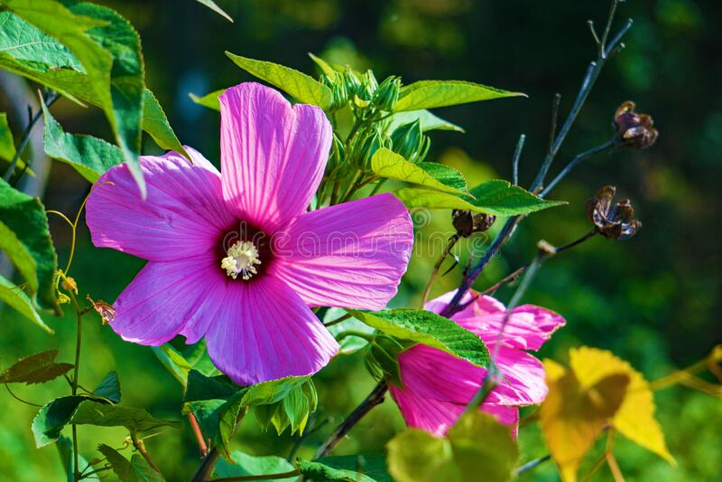 Rose of Sharon, Hibiscus moscheutos stock photography
