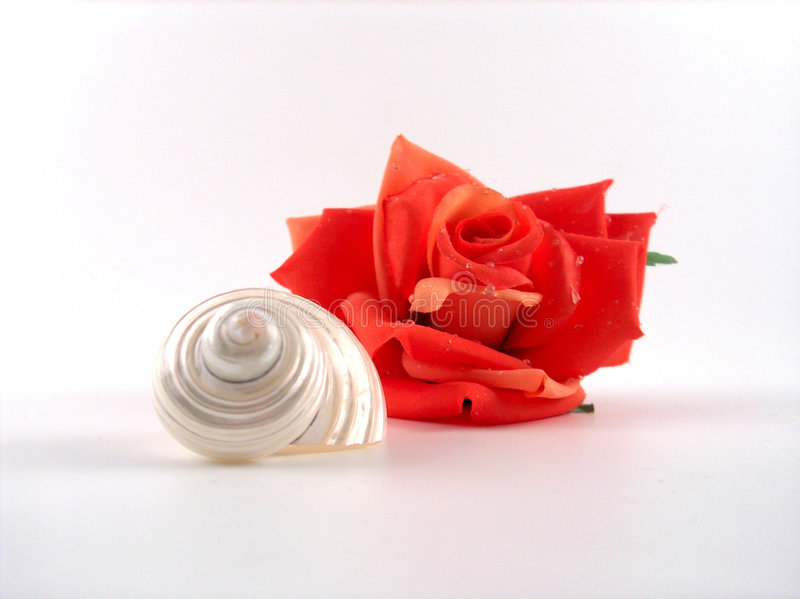 Download Rose and shell stock photo. Image of husband, generous - 120158