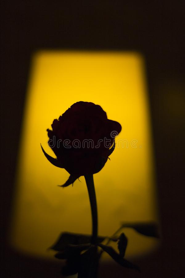 Rose Silhouette fotos de stock