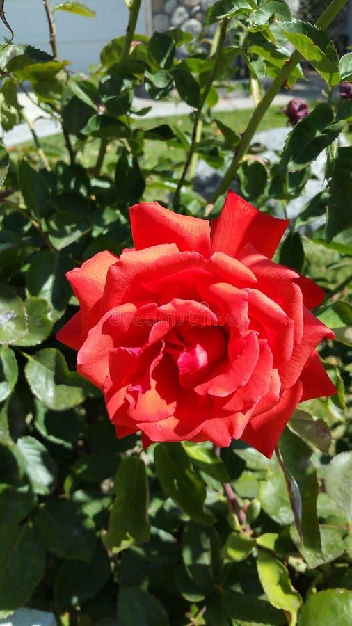 Rose simple photographie stock libre de droits