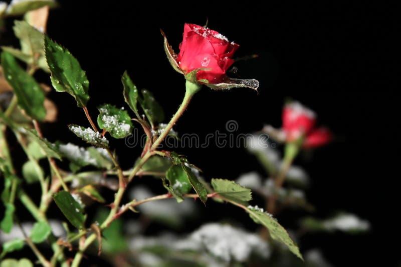 Rose simple dans la neige la nuit image libre de droits