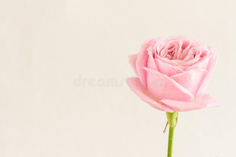 Rose simple de rose avec des baisses de l'eau image libre de droits