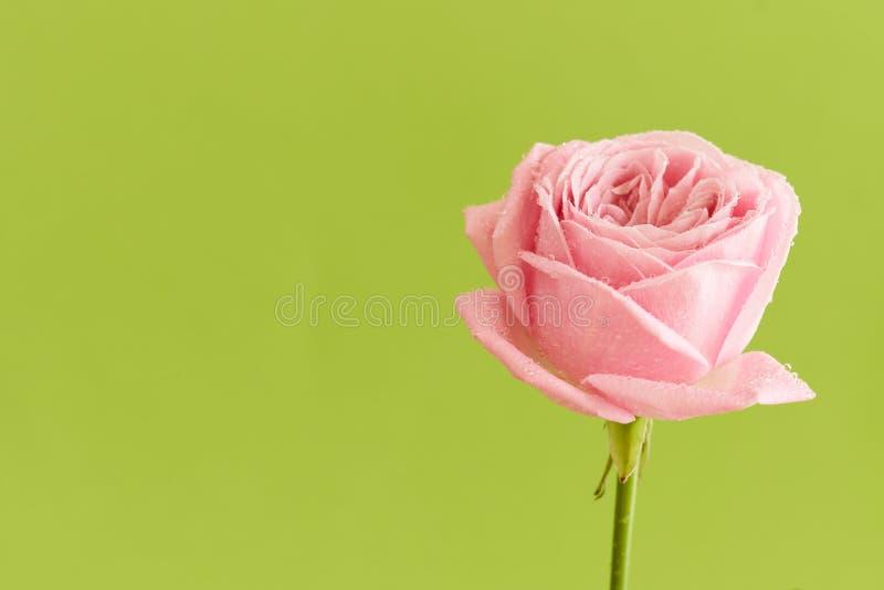 Rose simple de rose avec des baisses de l'eau image stock