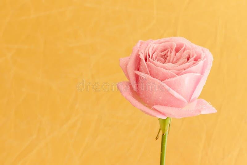 Rose simple de rose avec des baisses de l'eau images stock