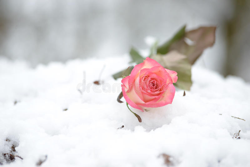 Rose in the snow stock photography