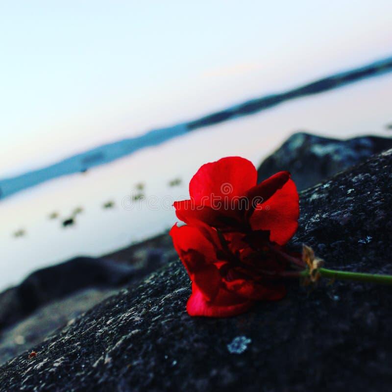 Rose sobre un mar fotografía de archivo libre de regalías