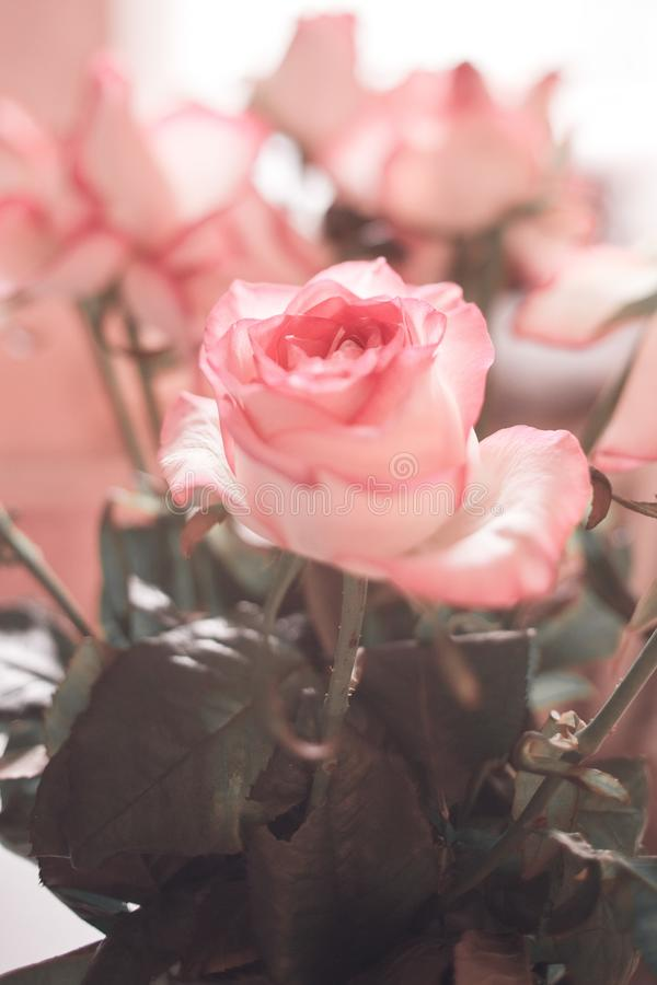 Rose in soft color and blur style for Valentines day and wedding background. Soft and dreamy image. stock photography