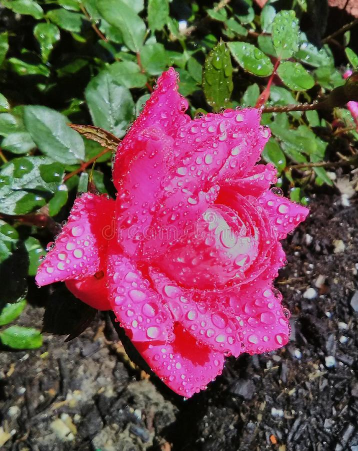 Rose solitaria fotografía de archivo libre de regalías