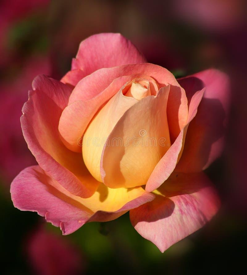 rose soluppgång arkivfoto