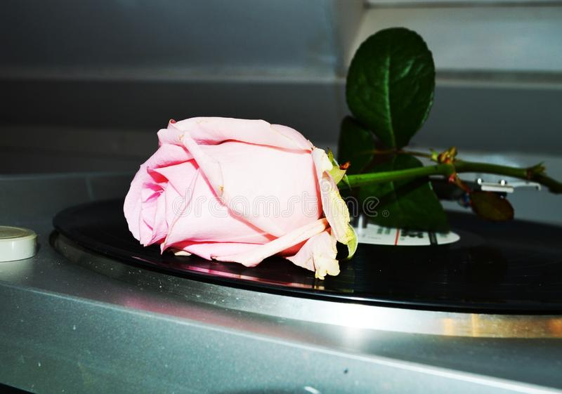 Rose and sound, close-up royalty free stock photography